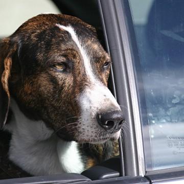Hey-Fiffi.com: Hund am Autofenster