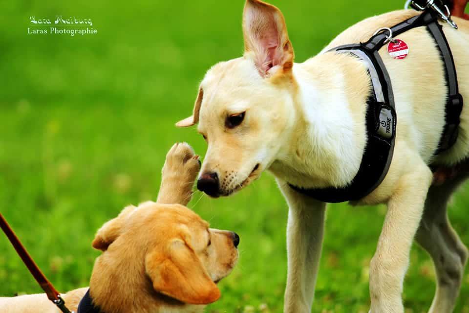 Spielende Hunde - Lara Meiburg Photographie