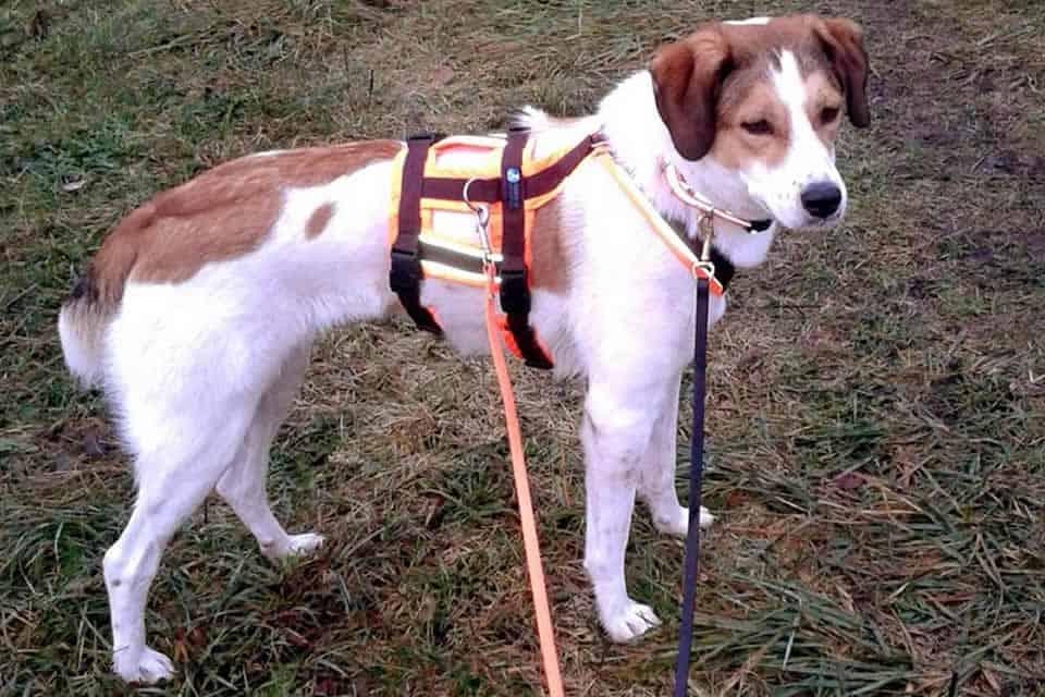 Hund mit Sicherheitsgeschirr
