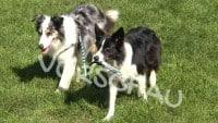 Tricks für Hunde: Hund führt Hund Gassi - Hey-Fiffi.com