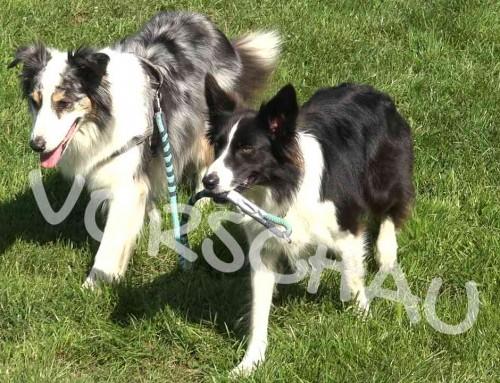 Trickdogging für Zwei – Hund führt Hund Gassi