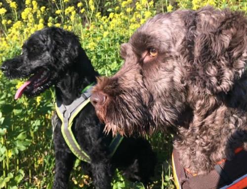 Rassebeschreibungen ungeschönt – Der Portugiesische Wasserhund