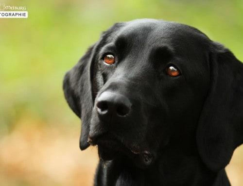 Rassebeschreibung ungeschönt – Der Labrador Retriever