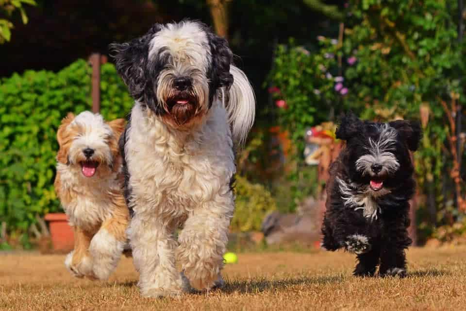 Welpen und Althund