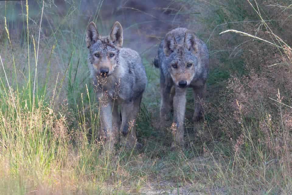 Mythen über Wölfe