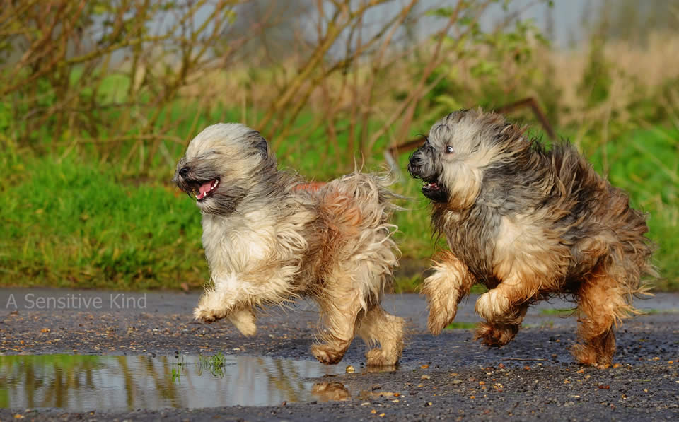 Rassebeschreibung Ungeschont Der Tibet Terrier Hey Fiffi Com