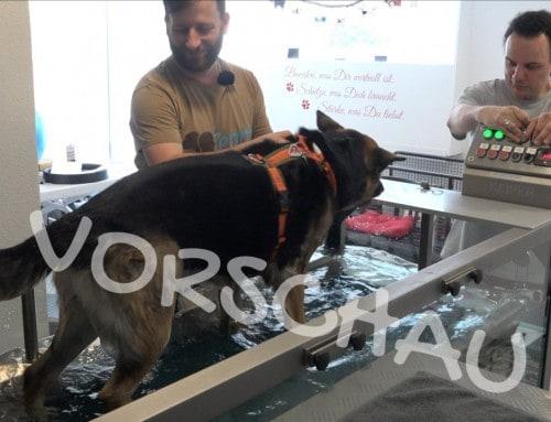 Hundephysio – Gewöhnung an das Unterwasserlaufband