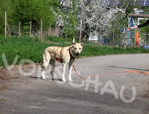 Abrufen unter Ablenkung: Andere Hunde
