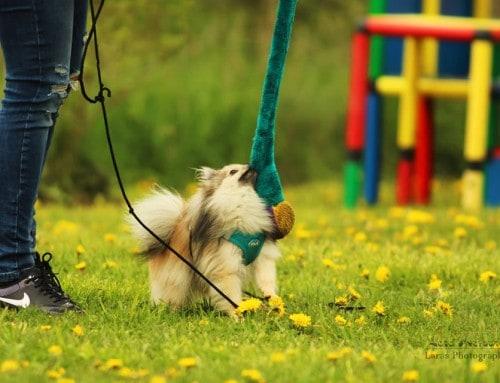 Papillons und Rottweiler – Auch kleine Hunde brauchen Kommunikation